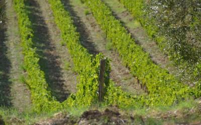 Podere Ghiole Vineyard
